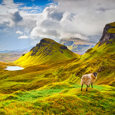 Curious sheep, Trotternish Ridge, Isle of Skye, Scotland